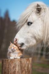 White shetland pony kissing little red kitten