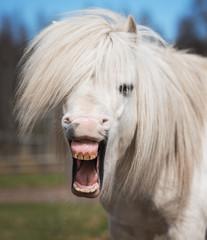 Little funny shetland pony yawning
