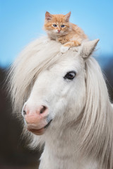 Little red kitten sitting on the head of white shetland pony