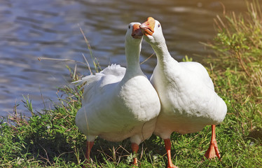 two friendly white funny Goose standing next to the green banks of the pond