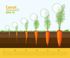 Phases of growth of a carrot in the garden