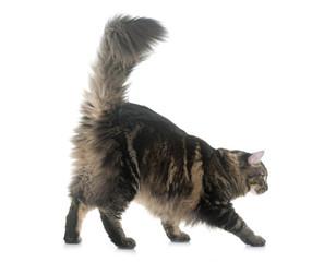 Fototapete - maine coon cat