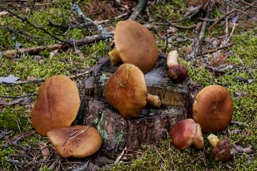 Mushroom in forest. Mushroom boletus - healthy and delicates food.