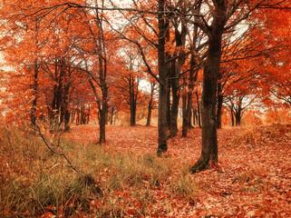 Autumn forest with fallen autumn oak leaves. Autumn colored landscape - oak forest nature in autumn cloudy day.