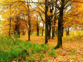 Autumn forest with fallen autumn oak leaves. Autumn colored landscape - oak forest in autumn cloudy day.