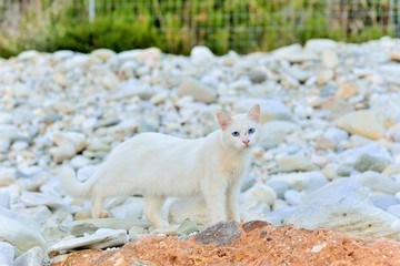 Greek white cat on white stones. The feline friends are all over Greece just waiting to snap up a tid-bit under the taverna table or find a shady spot to snooze all day...its a cat's life...