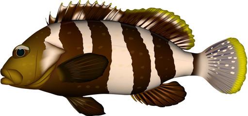 魚 アオハタ イラスト・ベクター