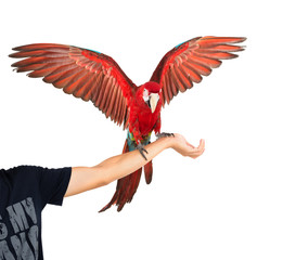Action of scarlet macaw birds on hand.