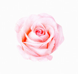 Digital painting watercolor of pink rose