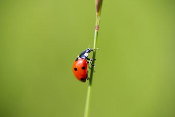 Coccinella appoggiata ad un filo d' erba verde