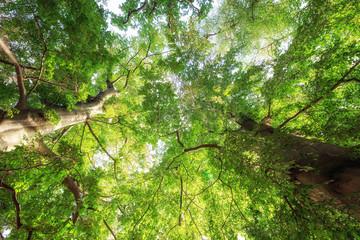 Frische kräftige Baumkronen