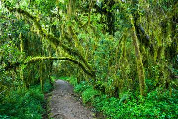 Dense vegetation surrounding the climbing trail on Mt. Kilimanjaro, Tanzania