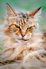 evil look old male Maine Coon