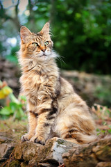 old Maine Coon sits in the yard