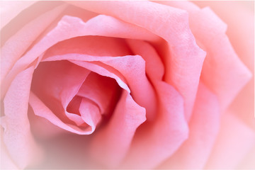 Pink rose close-up can use as wedding background.