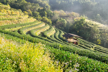 Tea plantation pavillion thatch fog beautiful at morning,chaing