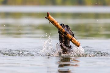 Standard Schnauzer retrieving a wooden stick