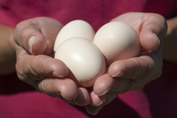 Fresh organic eggs on the hands of farmer