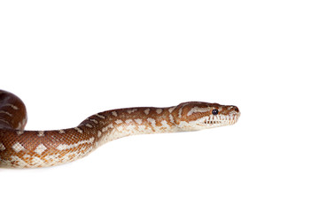 Centralian carpet python on white