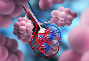 Alveolen - Lungenbläschen Part 1