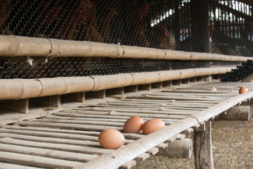 Eggs chicken farm