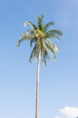 coconut tree with bluesky background