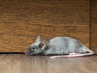 Big gray mouse lies along the wall