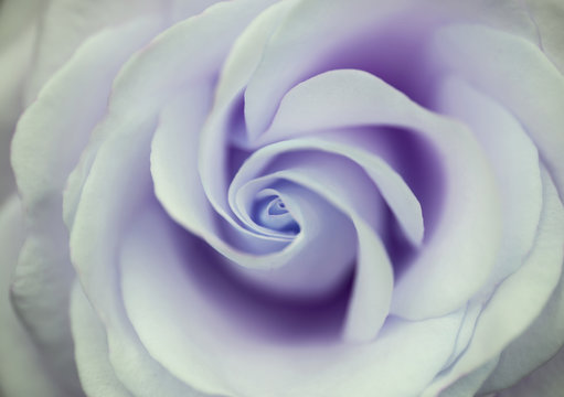 Beautiful close up of purple rose flower with delicate pastel co