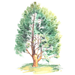 Watercolor painting of a realistic cedar tree, isolated on white background.