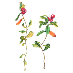 Realistic watercolor illustration of two cowberries with leaves. Isolated on white background.