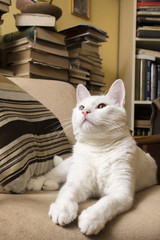 White cat with heterochromia iridum lying in the armchair