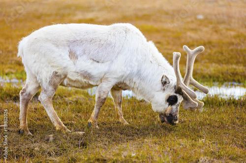 tundra animals - HD1280×853