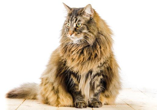 chat norvégien, mâle adulte
