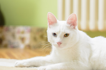 White cat with heterochromia iridum in a lying position