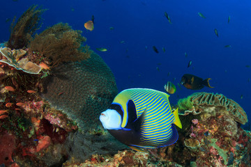 Emperor Angelfish. Coral Reef. Underwater Ocean, Tropical fish.