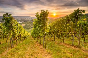 Fototapete - Weinberg mit Weinreben im Sonnenuntergang