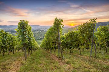 Fototapete - Weinreben im Weinberg im Sonnenuntergang