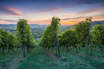 Fototapete - Dämmerung blaue Stunde im Weinberg mit Weinreben