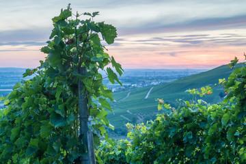 Fototapete - Weinrebe im Sommer in der Dämmerung