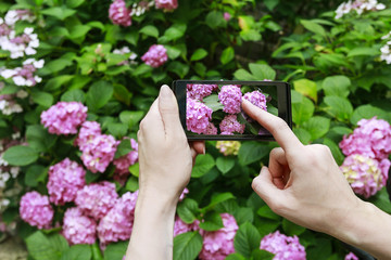 Woman taking a picture of pink hortensias with her smartphone