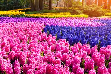 Fields of blooming hyacinth flowers in the Keukenhof gardens