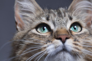 muzzle of a beautiful cat with green eyes o