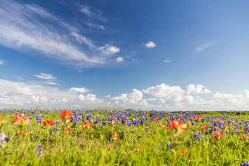 bluebonet and indian paintbrush filed and blue sky.