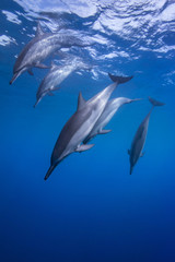 Spinner Dolphins Diving