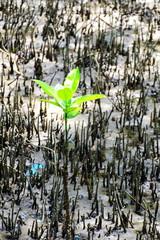 Mangrove trees are grown in mangroves