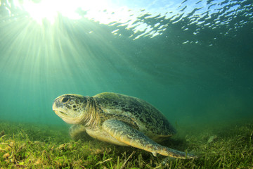 Green Turtle. Sea Turtle