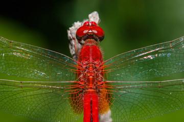 dragonfly on leaf in closeup,dragonfly .