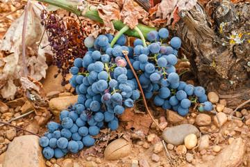 Racimos de uvas y cepa. Viñedos de Valdevimbre, León.