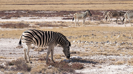 Zebra in the Etosha National Park, Namibia