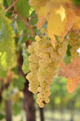 grappolo d'uva trebbiano